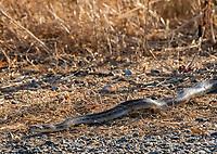 Pacific Gopher Snake, Pituophis catenifer catenifer, in Sacramento National Wildlife Refuge, California