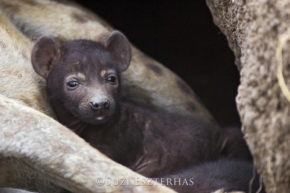 Spotted Hyena<br /> Crocuta crocuta<br /> 23 day old cub(s) in den <br /> Masai Mara Conservancy, Kenya