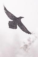 Raven, Corvus corax, Vitbergets nature reserve, Kalvtrask, Vasterbotten, Sweden