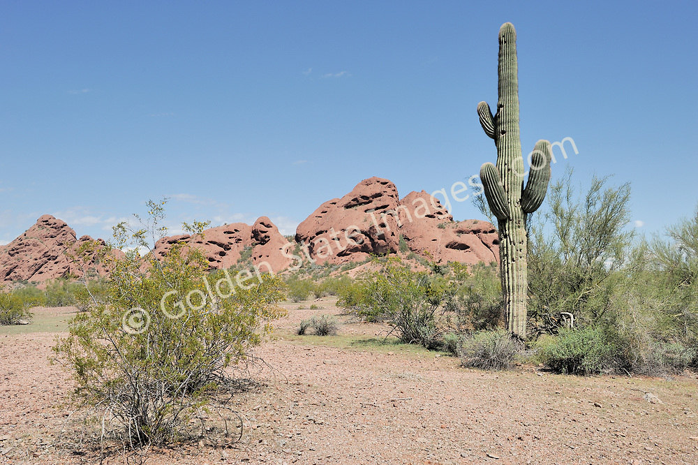 The saguaro cactus at Papago Park in Phoenix. The Saguaros bloom is the state flower of Arizona.    <br /> <br /> The signature red sandstone buttes of Phoenix Arizona. <br /> <br /> Papago Park has an interesting history. In 1879 the area was designated as an Indian reservation for the Maricopa and Pima tribes. <br /> <br /> In 1914 it was declared a National Monument which it remained until 1932. During World War II it was home to a German prisoner of war camp. <br /> <br /> Papago received its current designation as a city park in 1959 when it was sold to the city of Phoenix.     <br /> <br /> Range: Sonoran Deserts of Arizona and Mexico    <br /> <br /> Species: Camegiea gigantea