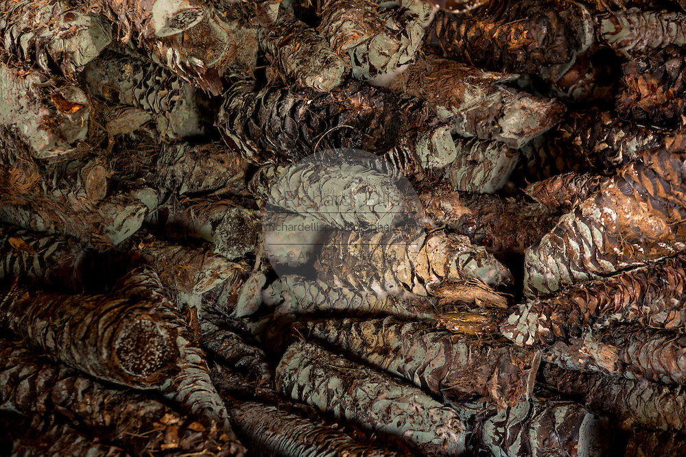 A pile of roasted blue agave covered with natural fungus waits to be added to the mill at an artisanal Mezcal distillery November 5, 2014 in Matatlan, Mexico. Making Mezcal involves roasting the blue agave, crushing it and the fermenting the liquid.