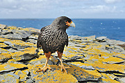 Caracara,  johnny rook aggressively walks toward the camera, standing on yellow lichen covered rocks with the sea in the background.