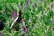 Bobolink in vetch during spring migration - Mississippi.