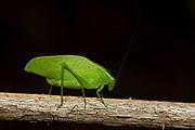 Unidentified leaf katydid from Berenty, southern Madagascar.