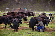 Tibetan nomadic yak herder Karsal's wife, Phurba, milks one of the family's dris in the early morning at their home in the Tibetan Plateau. (From the the book What I Eat: Around the World in 80 Diets.) The male yaks remain free at night, grazing at higher elevations, and the dris and their calves are tethered close to the tent to make milking in the morning convenient, and to prevent the calves from suckling all the milk.