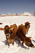 Winter, snow, cattle and farm landscape, Cumru Township, Berks Co. PA