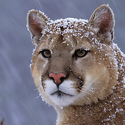 Mountain Lion or Cougar (Felis concolor) portrait of an adult in Montana. Captive Animal
