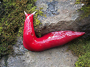 "Giant, Squishy, Fluorescent Pink Slug Found in Australia<br /> <br /> Looking like it would make great salmon bait, a giant pink slug measuring at a whopping 20 cm long (7.8 inches) long, has recently been identified high in the mists that shroud Mount Kaputar, in New South Wales, Australia.<br /> That thing's got to be poisonous as all hell… It probably pees a ricin-acid mix whose vapors melt human bones.<br /> Michael Murphy, a ranger with the National Parks and Wildlife Service, was one of the first to get an up close look at this remarkable creature, which was only identified just recently.<br /> ""As bright pink as you can imagine, that's how pink they are,"" he added, noting that each night they crawl up trees in large numbers to feed on mold and moss.<br /> ut wait, there is more… giant pink slugs aren't the only squishy inhabitants unique to that particular mountaintop. Yup you guessed it… Carnivorous, cannibal land snails also roam the same mountaintop in search of their vegetarian victims.<br /> ""We've actually got three species of cannibal snail on Mount Kaputar, and they're voracious little fellas,"" says Murphy. ""They hunt around on the forest floor to pick up the slime trail of another snail, then hunt it down and gobble it up.""<br /> ©Michael Murphy/Exclusivepix"