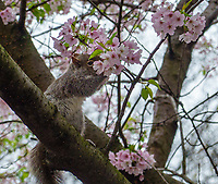Also squirrels like Cherry blossoms; Central Park, April 9, 2020.