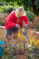 Deadheading euphorbias with shears after they have finished flowering. Wearing gloves to protect from toxic sap