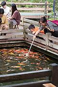 Feeding Koi goldfish using a baby bottle in Chengdu. Sichuan, China