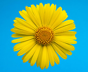 Close up abstract of a single doronicum flower set against a blue background in a Norfolk garden