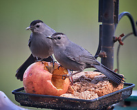 Pair of Gray Catbirds. Image taken with a Nikon D5 camera and 600 mm f/4 VR lens (ISO 1600, 600 mm, f/5.6, 1/800 sec)