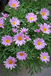 Argyranthemum 'Lolly'