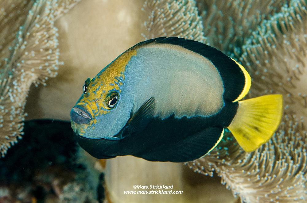 Pewter Angelfish, Chaetodontoplus dimidiatus, Raja Ampat, West Papua, Indonesia, Indian Ocean