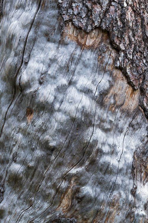 Weathered tree trunk in Idaho's Sawtooth Mountains.