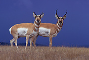 Female (left) and male pronghorn (Antilocapra americana) on grassland with stormy sky. Hart Mountain National Wildlife Refuge, Oregon.