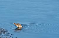 Least Sandpiper, Calidris minutilla, feeding in shallow water at Lower Klamath National Wildlife Refuge, Oregon