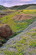 Yellow bee balm flowers cover the desert after a rare moist spring in the Blue Hills west of Hanksville, Utah.