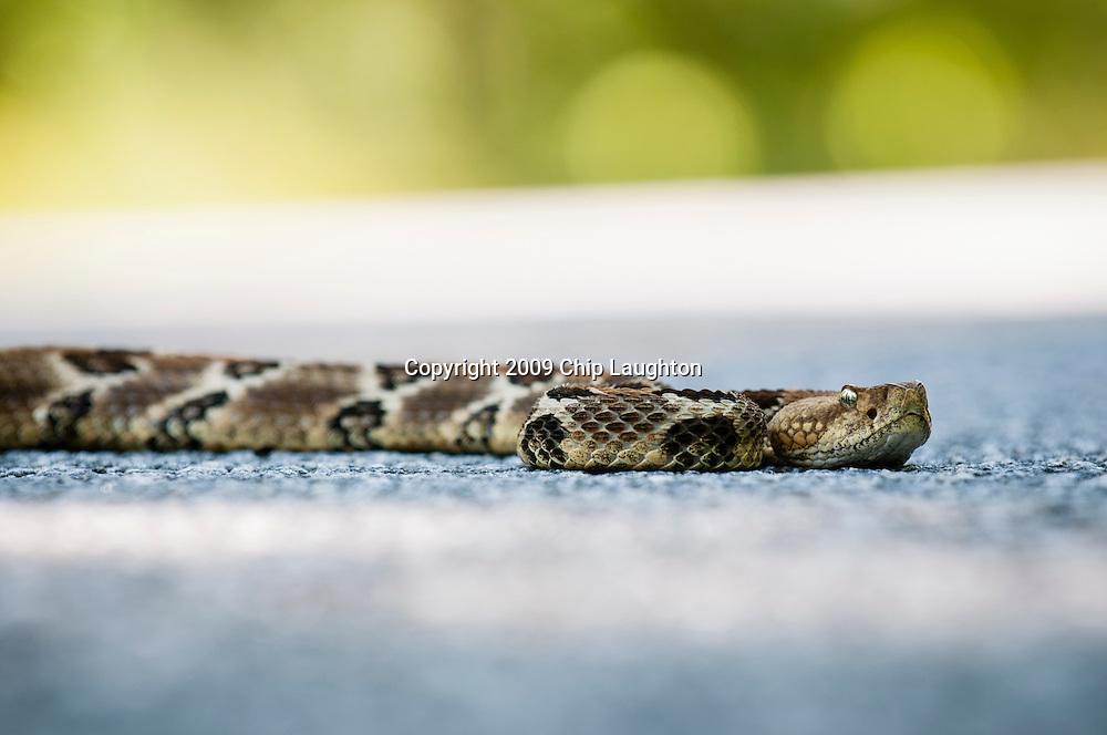 rattle snake stock photo image