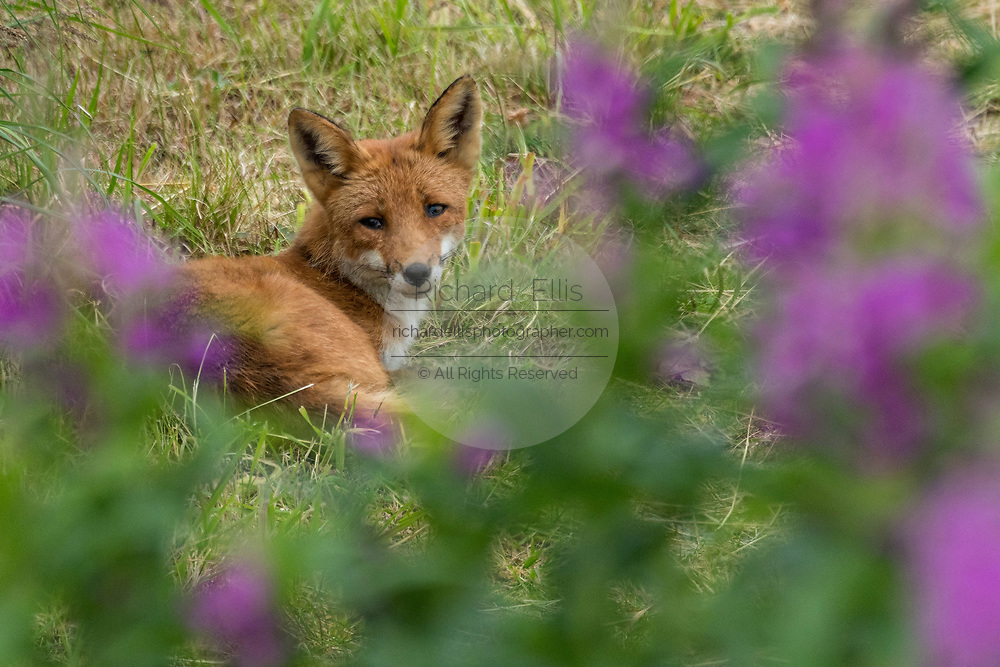 A red fox adult rests in grass framed by Fireweed wildflowers at the McNeil River State Game Sanctuary on the Kenai Peninsula, Alaska. The remote site is accessed only with a special permit and is the world's largest seasonal population of brown bears in their natural environment.