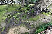 very old long tree roots in the Kenrokuen garden at Kanazawa Japan