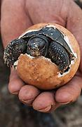 Galapagos Giant Tortoise hatching out of egg (Santa Cruz Race)<br /> Geochelone elephantophus porteri<br /> Charlse Darwin Research Center, Santa Cruz Island<br /> Galapagos Islands<br /> ECUADOR.  South America<br /> ENDEMIC TO THE GALAPAGOS ISLANDS