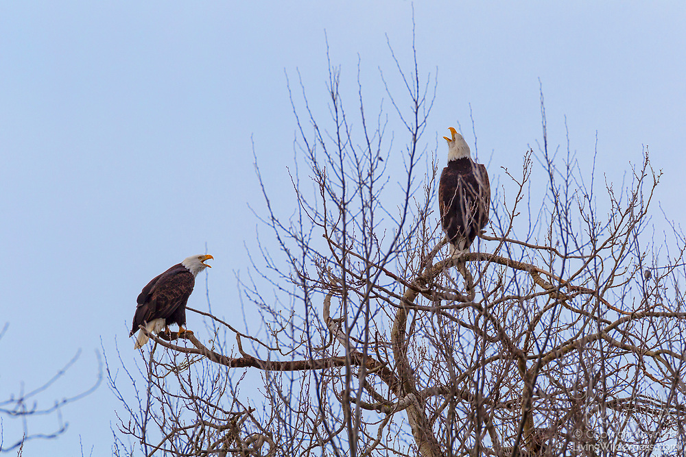A pair of bald eagles (Haliaeetus leucocephalus) call to each other from their perches in a bare winter tree in the Skagit Valley of Washington state.