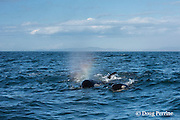 southern resident orca, or killer whales, Orcinus orca, spouting, with the water droplets refracting sunlight into a rainbow of colors, off southern Vancouver Island, British Columbia, Strait of Juan de Fuca, Canada