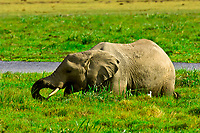 African elephant in marshy grass, Amboseli National Park, Kenya