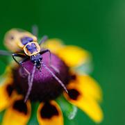 Blister Beetle (Meloidae), adult on Golden Aster, Ben Bolt County, Rio Grande Valley, Texas, USA.