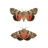 Light Crimson Underwing - Calocala promissa