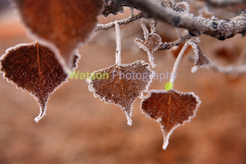 Cotton Wood Frost