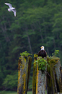 A bald eagle perched on old dock pilings as seen from the Tide Rip Grizzly Bear tour.  Tide Rip Grizzly Bear tours offer wildlife tours in Knight Inlet to find bears in the spring.  As the snows melt, both black and grizzly bears emerge from their hibernation dens on the mountain slopes. Hungry bears make their way down to feed on the spring sedge grasses in the river lowlands. Sedges have 20% vegetable protein value, enough to sustain the bears.  The flat bottom viewing boats allow the tour operators to bring guests into very shallow areas and hopefully closer to the wildlife for safe viewing.  Tours depart daily from Telegraph Cove on Vancouver Island.