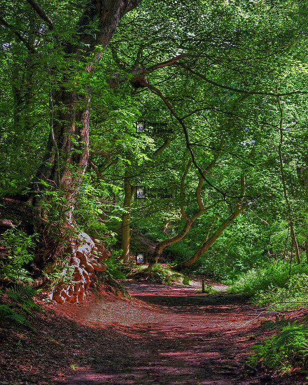 Photo Art Print of a peaceful woodland path in the country park Grinshill in Shropshire available as a Download, Framed, Canvas, Fine Art and Photo Print. This is a photograph of a lost woodland path taken in England in the height of the summer. We have a full covering of tall green trees with bright shots of sunlight darting through adding texture to the woodland floor. This image almost makes you seem lost in the wilderness with this thick forest, and the earth given a majestic covering of leafs.