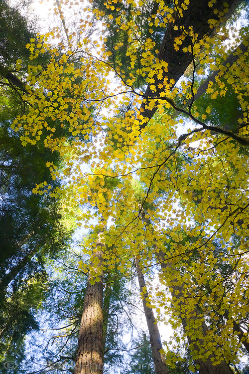 Looking up through a moss covered Vine Maple (Acer circinatum) in autumn in an old growth forest with towering conifers above, Gifford Pinchot NF, WA, USA