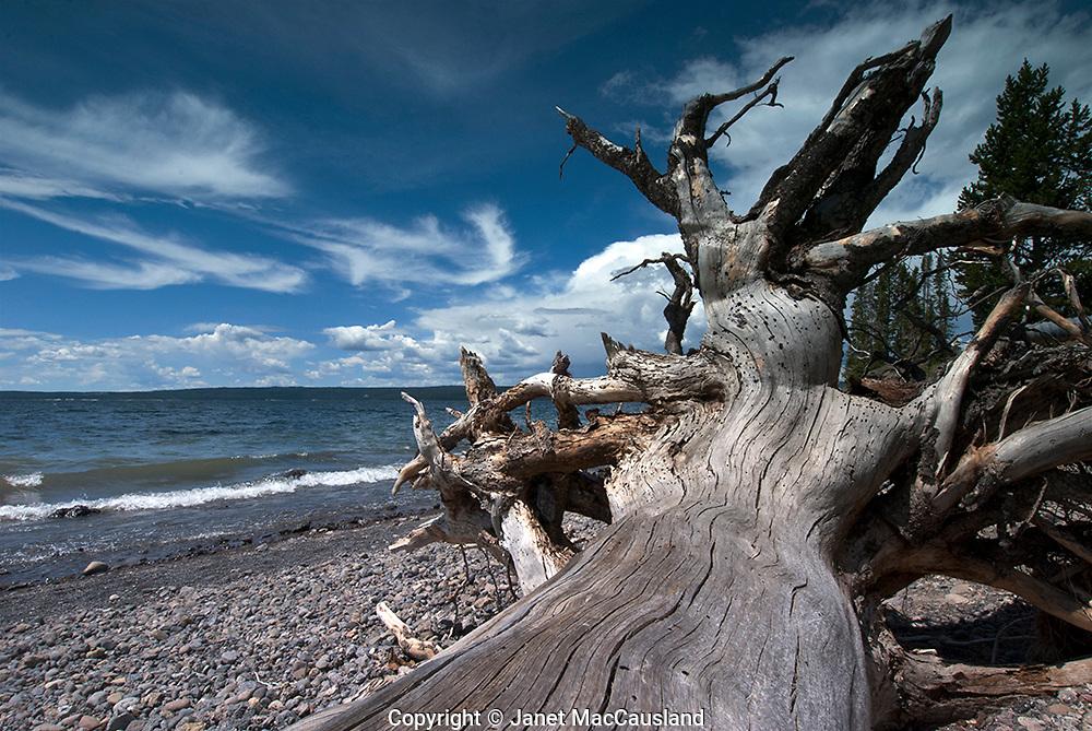 Driftwood Tree at Pumice Point, Yellowstone Lake