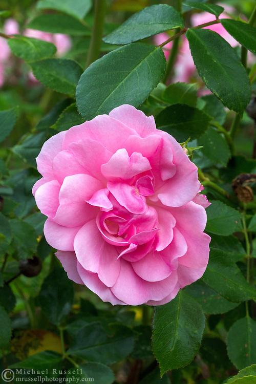 A 'Bonica' Rose flower in a spring garden