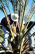 Israel, Jordan Valley, Kibbutz Ashdot Yaacov, artificial pollination of Date Palm (Phoenix dactylifera) in the plantation