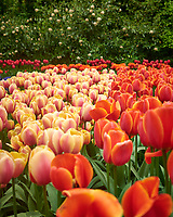 Multicolored tulips. Tulip festival at Keukenhof Gardens in Lisse, Netherlands. Image taken with a Leica X2 camera.
