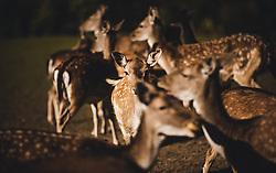 THEMENBILD - ein Rudel weiblichem Damwild (Damtier) und Jungtieren in einem Gehege, aufgenommen am 30. September 2018, Haibach ob der Donau, Österreich // A pack of female fallow deer (Damtier) and cubs in an enclosure on 2018/09/30, Haibach ob der Donau, Austria. EXPA Pictures © 2018, PhotoCredit: EXPA/ Stefanie Oberhauser