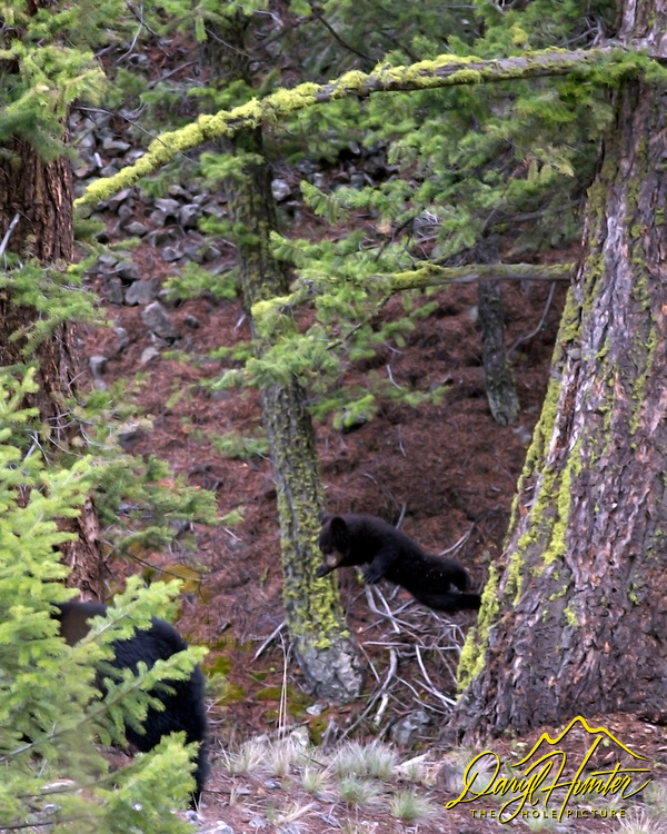 Flying Black Bear cub in Yellowstone National Park