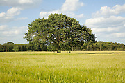 Oak tree in summer stands in cereal field, Iken, Suffolk, England