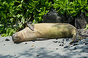 Hawaiian monk seal, Neomonachus schauinslandi, formerly Neomonachus schauinslandi ( CriticallyEndangered, endemic species ), 5 1/2 month old male ( RN02 or Kamilo ) with semi-circular scar from bite of cookie cutter shark on abdomen near left hip), Honaunau, South Kona, Hawaii ( the Big Island )