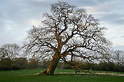 Falling oak tree, Sherbourne, Gloucestershire, United Kingdom