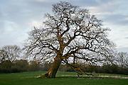 Falling oak tree, Sherbourne, Gloucestershire, United Kingdom