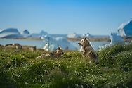 In summer, these dogs are on a well deserved vacation. They don't do any work, only sleep, eat, howl and sometimes make puppies. But in winter they work very hard; many locals still use them as a main mean of transportation when the sea ice freezes.