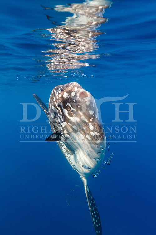 Mola alexandrini (Bump-head sunfish) with Naucrates ductor (Pilotfish) offshore, Northern New Zealand.<br /> Friday 26 January 2018<br /> Photograph Richard Robinson © 2018