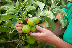 Thinning apples in summer to encourage ripening and promote good sized, healthy fruits. Malus domestica