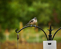 Tufted Titmouse. Image taken with a Leica SL2 camera and 90-280 mm lens